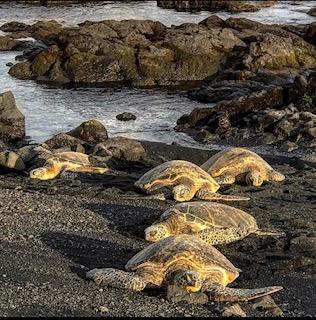 Beaches in Hawaii Sea Turtles on the Beach